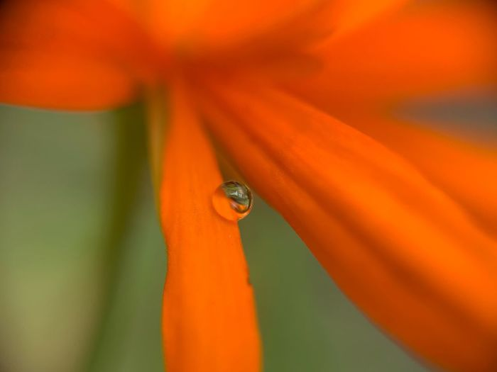 Water drop on flower petals Orange Color Close-up No People Plant Drop Beauty In Nature Invertebrate Nature Water Flower Flowering Plant Wet Outdoors Selective Focus Growth