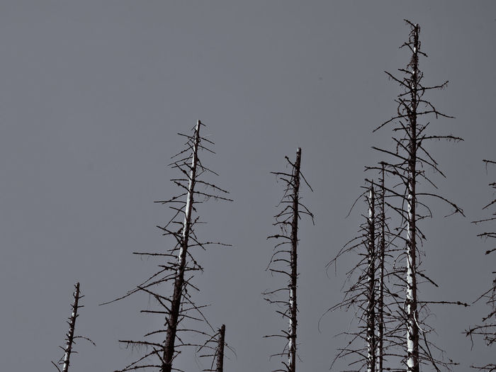 Damaged Nature Arid Climate Blackandwhite Blackandwhite Photography Clear Sky Dead Trees Dry Branches Dry Trees Environmental Issues Forest Minimal Minimal Nature Spruce Trees Treetops