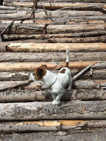 Shapes And Forms Pets One Animal Outdoors No People Wood - Material Shapes In Nature  Timber Log Firewood Woodpile Wild Nature Puppy WOW Tree Denmark Tranquility