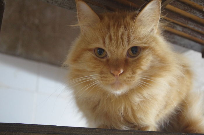 Lovely Pets Domestic Cat Ginger Cat Indoors  Makemyday No People Cat