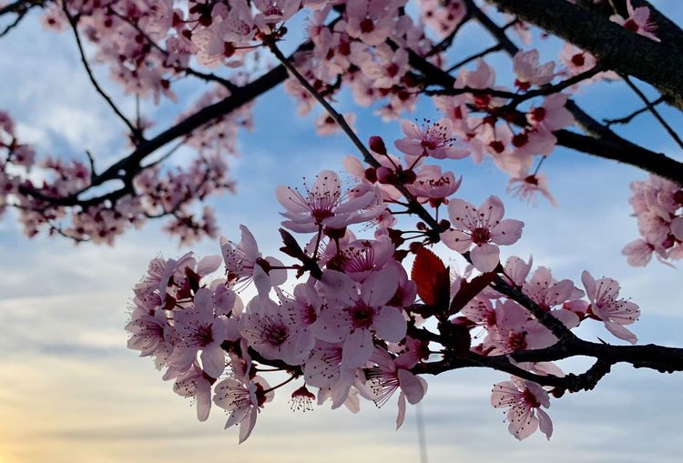 Pink flowers on a tree in the sunset. Flowering Plant Plant Tree Flower Pink Color Branch Freshness Blossom Freshness Beauty In Nature Growth Fragility Vulnerability  Springtime Nature Cherry Blossom Sky Day Cherry Tree Close-up Twig