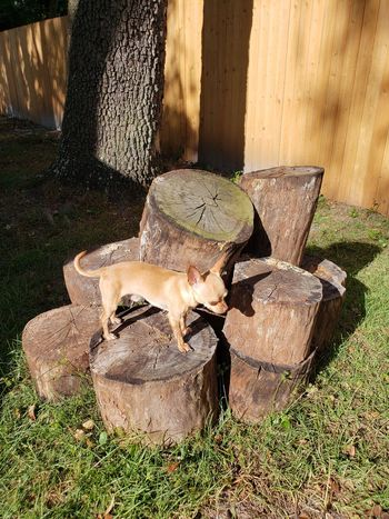 Our big boy enjoying his exercise. Florida Dog Dogs Domestic Animals Chiahuaha Logs Log Pile Light And Shadow Canine Toy Dog Toy Dog Group Sun