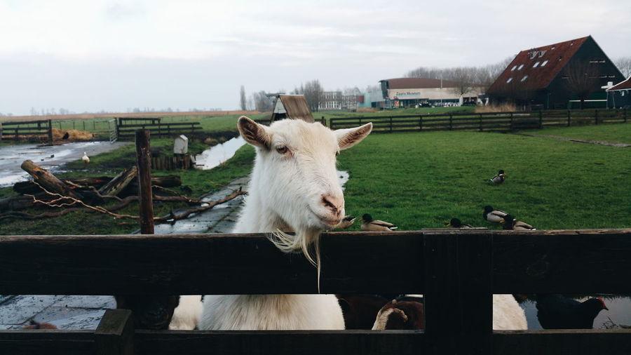 Close-Up Of A Goat On Landscape