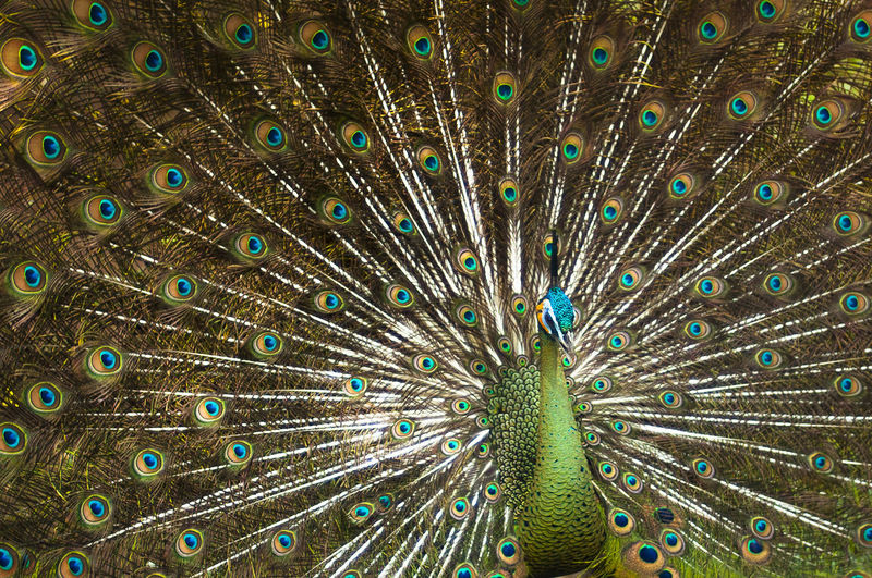 The green peafowl Green Color Java Java Peafowl Tropical Forest Animal Themes Animal Wildlife Animals In The Wild Beauty Beauty In Nature Bird Close-up Day Fanned Out Fauna Feather  Multi Colored Nature One Animal Outdoors Peafowl Spread Wings Vanity