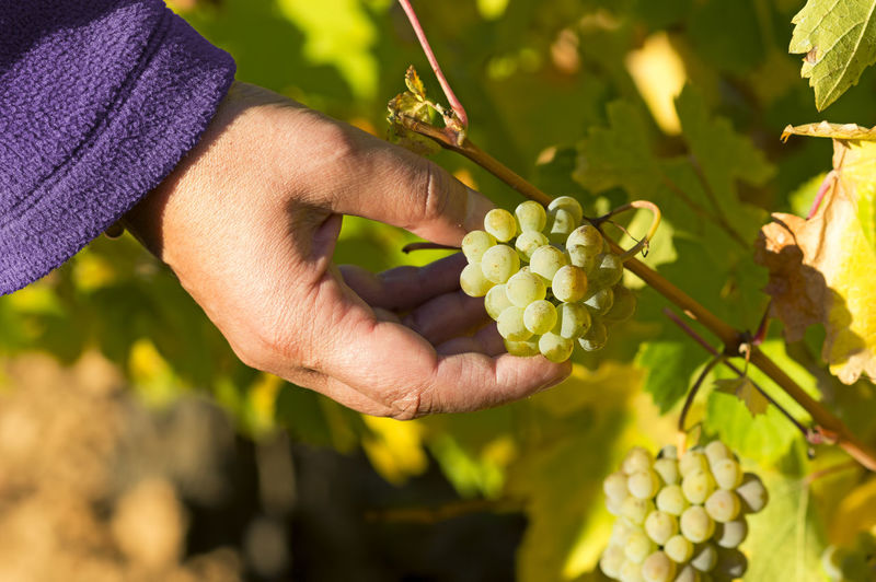 Cropped image of woman touching bunch of grapes growing at vineyard