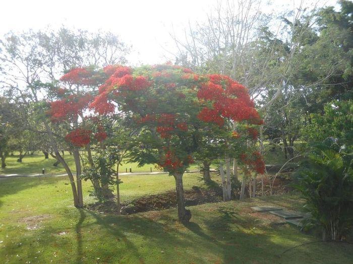 Nov November Flanboyan Popular Photos Mauritius