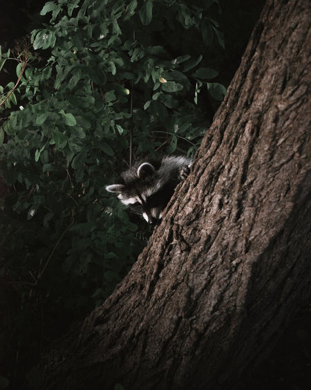 Raccoon on tree trunk