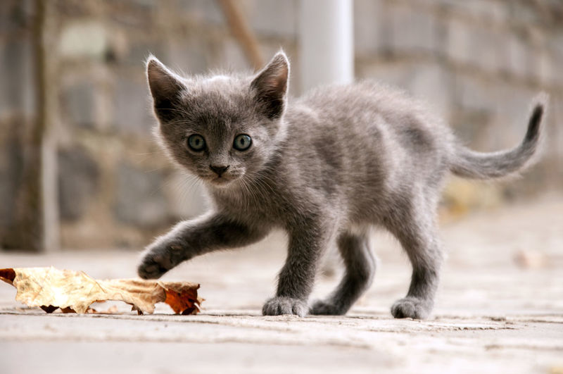 Little Kitten BlueEyes EyeEmNewHere Animal Themes Close-up Cute D90 Day Domestic Animals Domestic Cat Feline Gray Kitten Leaf Looking At Camera Mammal No People One Animal Outdoors Pets Portrait My Best Photo
