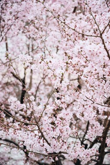 Sakura cherry blossom Flower Flowering Plant Pink Color Blossom Plant Fragility Tree Freshness Vulnerability  Branch No People Beauty In Nature Springtime Cherry Tree Growth Backgrounds Day Nature Cherry Blossom Botany