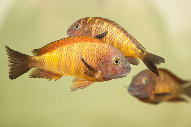 Animal Animal Themes Aquarium Beauty In Nature Buntbarsch Fish Herbivore Lake Tanganjika Mouthbreeder Nature Orange Color Ornamental Fish Swimming Tropheus Moorii Wildlife Colour Of Life Pet Portraits