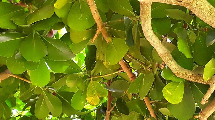 Foliage Plumeria Trees Tropical Trees Green Hawaii