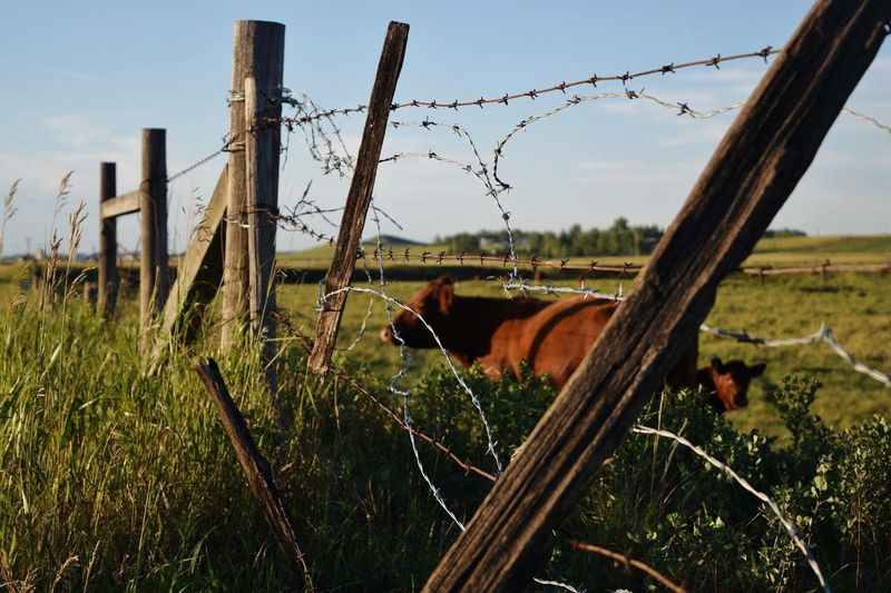 Cows Barbed Wire Fence Farmland Calgary Alberta Canada