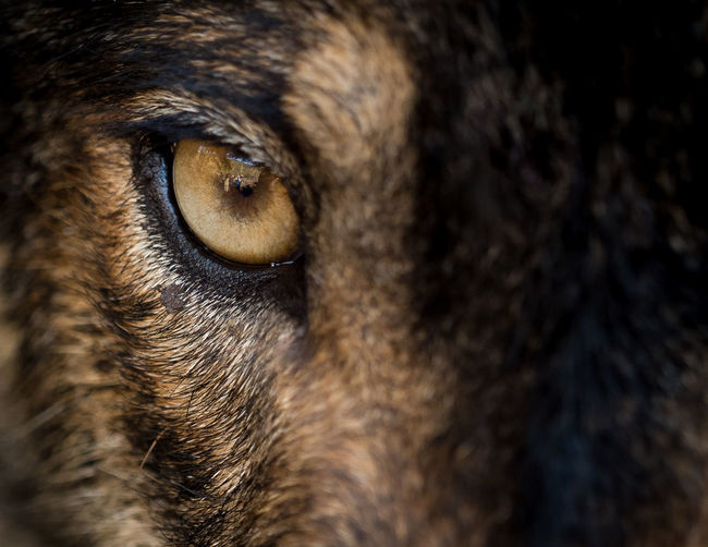 Eye of iberian wolf (Canis lupus signatus) Freedom Looking At Camera Nature Nature Photography Wildlife & Nature Wildlife Photography Animal Animal Head  Animal Themes Animal Wildlife Canis Lupus Close-up Eye Face Look Looking Mammal Nature_collection One Animal Portrait WOlves Wild Wilderness Wildlife Wolf