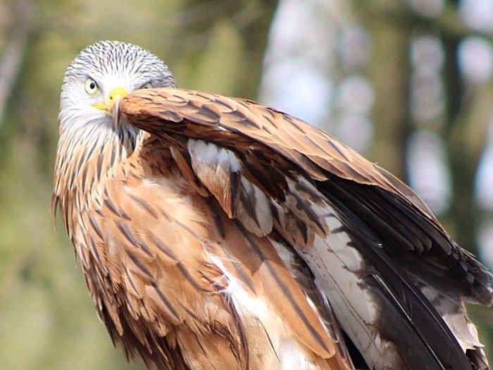 Red Kite Birds Of Prey Birds Nature Stunning Beautiful Stonham Barns Suffolk United Kingdom Showcase April