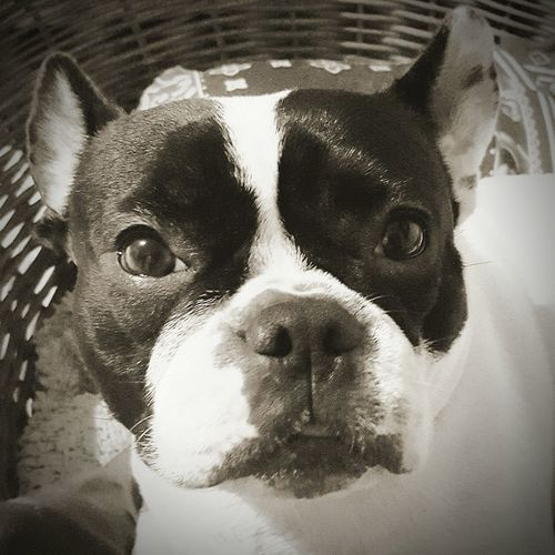 Bully-dog Sweet ♡ Pet Portrait
