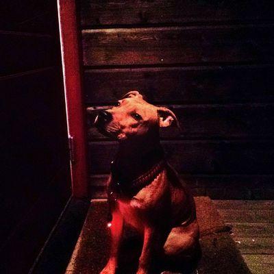 Instapit Instadog Dog Dontbullymypitbull doglove pitlove pitbyllinstagram pupy pit dontbullymypitbull