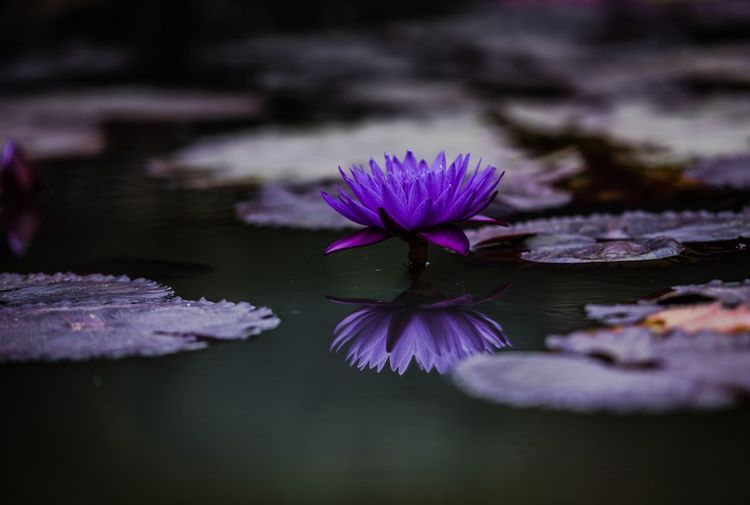 Flower Flowering Plant Plant Water Vulnerability  Fragility Beauty In Nature Purple Close-up Petal Freshness Inflorescence Growth Flower Head Lake Nature Floating On Water Floating No People Outdoors