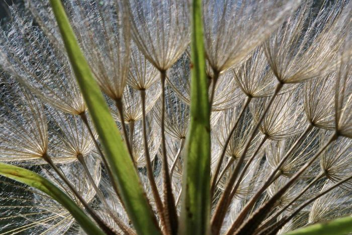 Pattern Pieces Salsify Blue Sky Seeds Flying Seeds Unfurling Macro Beauty In Nature Nextgeneration Blue