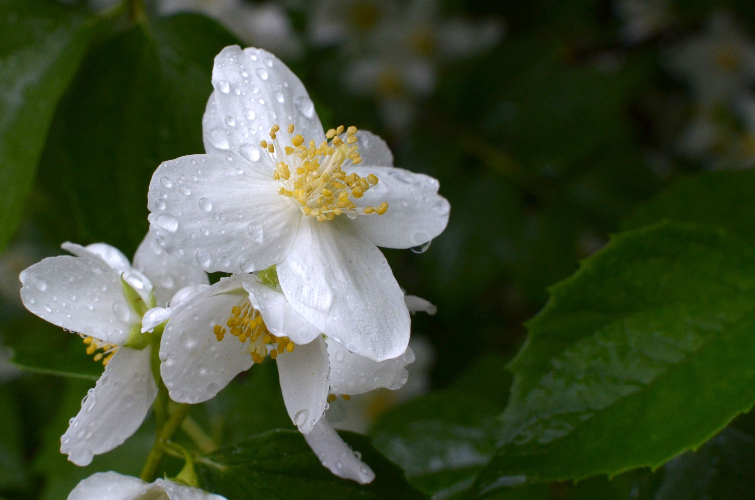 flower, freshness, petal, fragility, flower head, growth, white color, close-up, beauty in nature, drop, focus on foreground, wet, nature, blooming, water, plant, season, in bloom, pollen, dew