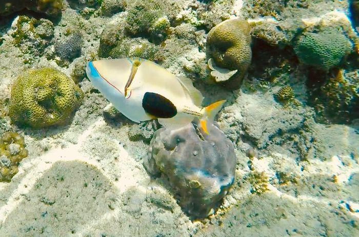 #picassofish #baliste #underwater Photography #goprohero4 #snorkeling #islandhopping Sea Sea Life UnderSea Water Animals In The Wild Underwater Animal Wildlife