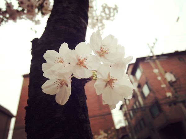 감성 벚꽃. Eyeem Emotional Photography Cherry Blossoms