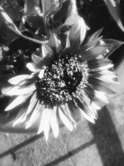 Flower Head Blackandwhite Photography Sunflower Head