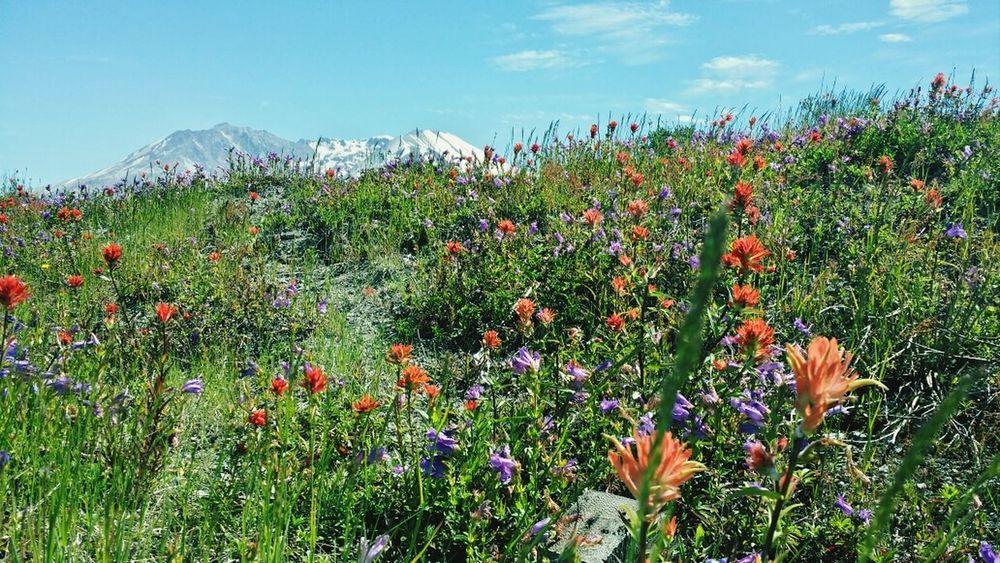 Wild Flowers Mountain View Washington State Mt. St. Helens