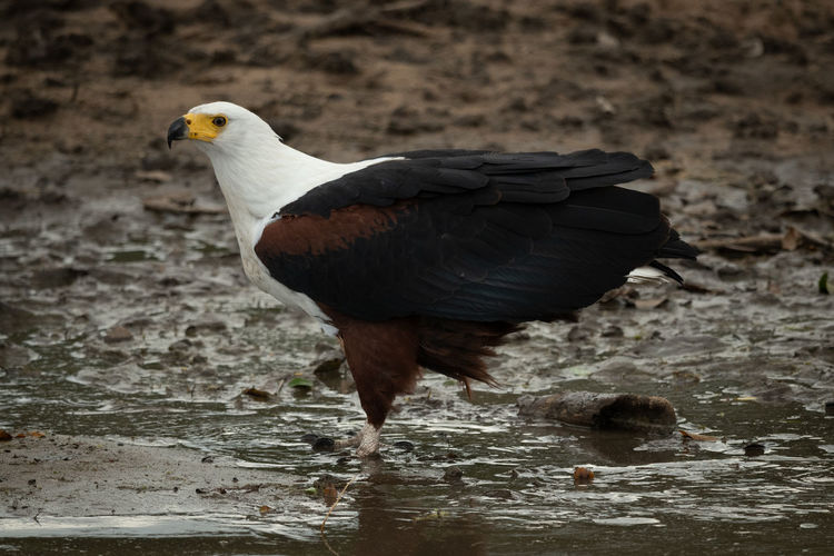 African fish eagle stands in muddy shallows Africa African African Fish Eagle Haliaeetus Vocifer Nature Serengeti Tanzania Animal Bird Bird Of Prey Eagle Game Drive Grassland Muddy Predator Raptor Safari Savanna Savannah Standing Travel Wildlife One Animal Vertebrate Animal Wildlife Animals In The Wild Day No People Water Full Length Outdoors Perching Black Color Focus On Foreground Close-up Solid