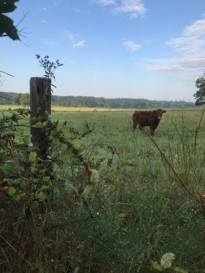 This shot was taken early morning late September just shortly after sunrise. This property neighbors up the the Birch Creek area which is a portion of the Mark Twain National Forest. Melba as I call her often will stand there watching me until I finally leave before she ever turn her head and walks away. She's one fascinated cow. Cow Pasture Cow Outdoors meadows No People One Animal Farm Dew fence Corner Post Sunrise