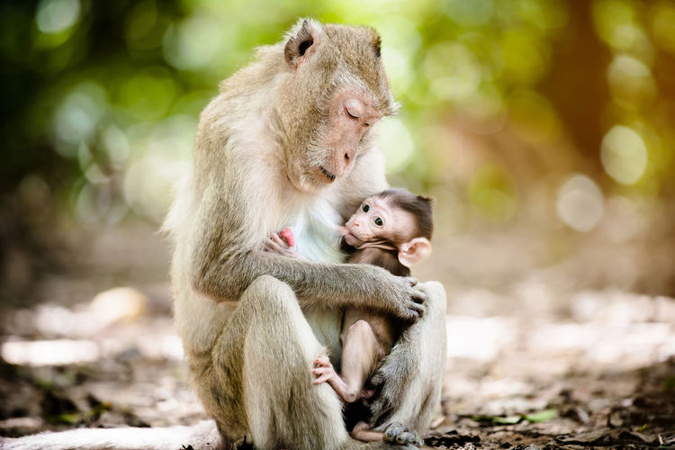 Monkey feeding infant while sitting on field in forest
