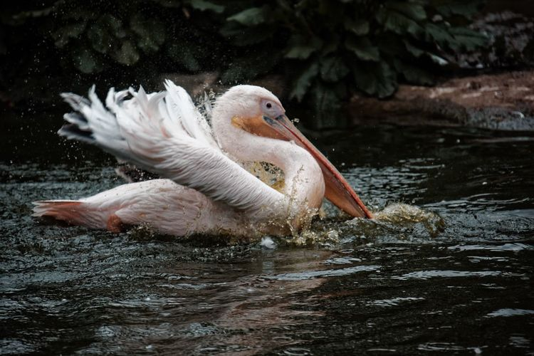 Splash splash. Bird Photography Birds Of EyeEm  Animal Themes Animal Wildlife Beak Beauty In Nature Bird Birds_collection Close-up Day Lake Nature No People One Animal Outdoors Pelican Water