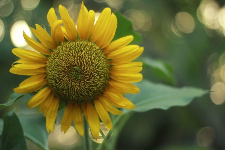 Flows Sunflower
