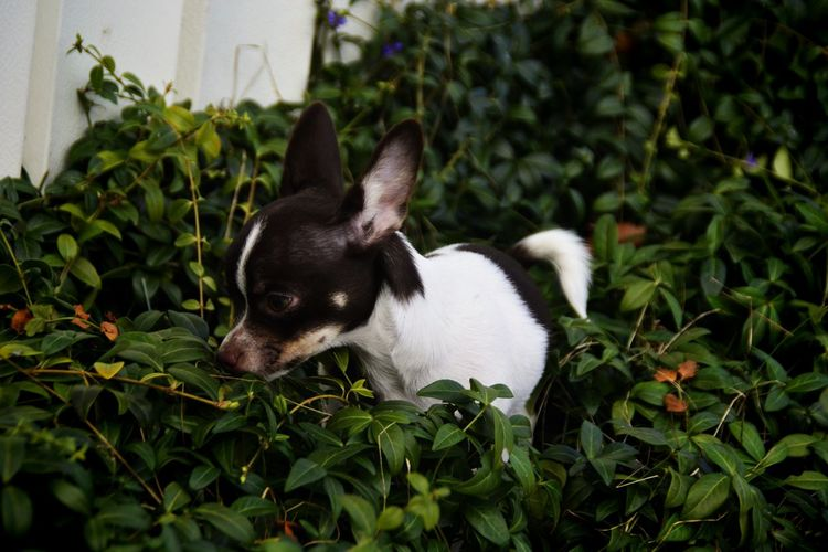 Chichuahua Chihuahua Love ♥ Chihuahualovers Chihuahua Puppy Pets Dog Puppy Ear Cute Front Or Back Yard Summer Grass Purebred Dog Chihuahua - Dog