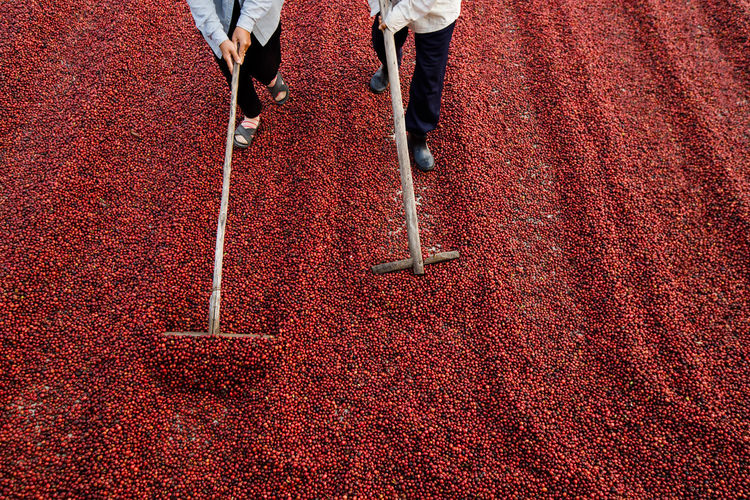 Low section of people harvesting berries