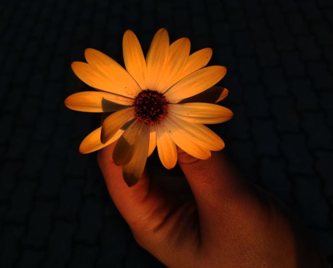 Close-up of hand holding orange flower against black background