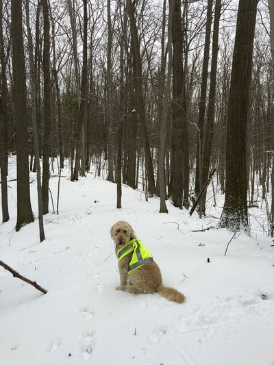 Dog Hiking in the Woods during Hunting Season Dog Dog Looks At Camera Forest Goldendoodle Hunting Vest Nature Neon Yellow Snow Tree Winter Woods Looking At Camera