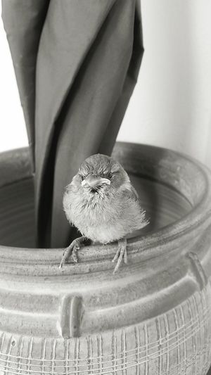 Indoors  Nature No People Day Close-up The Photojournalist - 2017 EyeEm Awards The Great Outdoors - 2017 EyeEm Awards Purching On Gate What You Looking At? Injured Sparrow Young Animal Animal Wildlife Animal Indoors  Nature Feather  Sparrow Bird Feather  Birds Bird Photography Birds Of EyeEm  Blackandwhite Black & White Bird