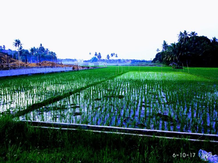 Agriculture Growth Field Beauty In Nature Nature Tranquility Rural Scene Scenics Green Color Day Water No People Landscape Irrigation Equipment Freshness Outdoors Tree Grass Rice Paddy Sky EyeEm EyeEm Nature Lover EyeEm Gallery Mi5photography Xiaomiphotography