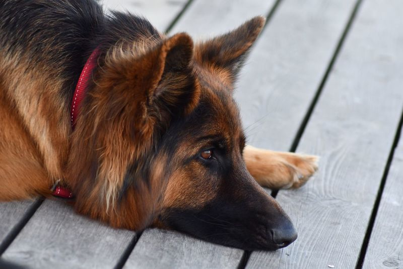 EyeEm Selects Dog Pets One Animal Domestic Animals Mammal Animal Themes High Angle View Lying Down No People Close-up Relaxation Day Outdoors Portrait GSD German Shepherd