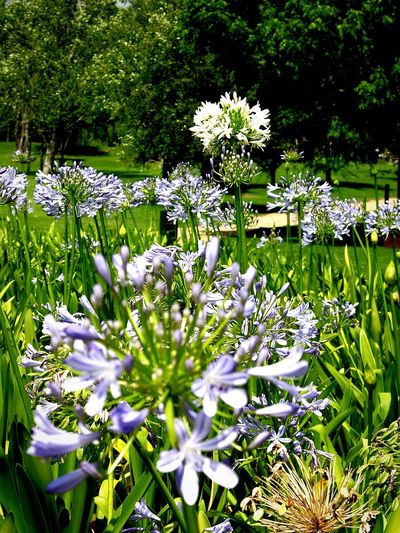 The Unexpected ~ Flower Nature Fragility Growth Beauty In Nature Green Color Outdoors Day Freshness No People Plant Grass Flower Head Close-up Agapanthus White Flower Purple Flower EyeEm Flower EyeEm Nature Lover South Africa Swellendam Cape Province Fragile Beauty Freshness Garden Photography