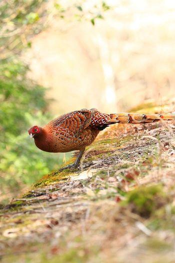 ヤマドリ Bird One Animal Animals In The Wild Animal Themes Animal Wildlife Day Nature Outdoors
