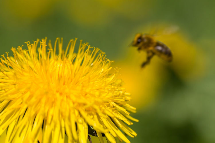 Close-up of bee by yellow flower