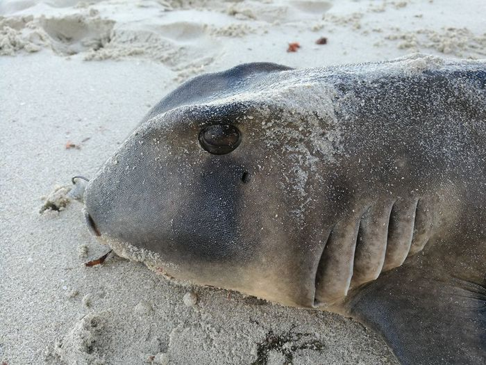 High Angle View Animal Themes Sand Nature Outdoors Beach Day No People One Animal Animals In The Wild Close-up Sea Life Shark Port Jackson Shark Scott Dunn