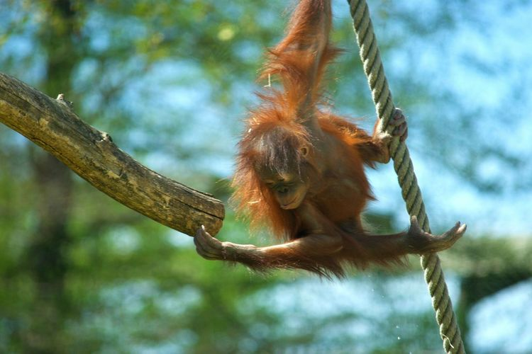 Animal Wildlife One Animal Animals In The Wild Nature No People Beauty In Nature Animal Themes Zoo De Beauval Zoophotography Zoo Primate Monkey Singe Orangoutan Orangutan Animal à Beauval