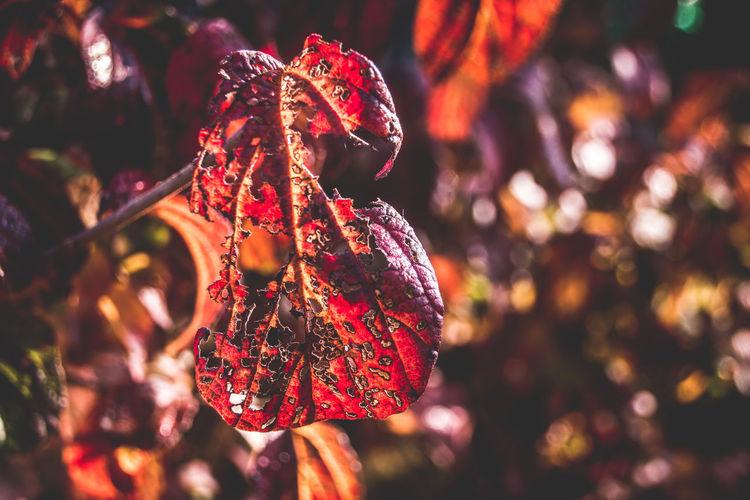 Close-Up Of Damaged Autumn Leaf On Tree