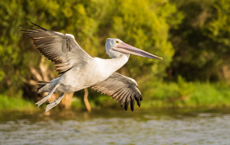 Pelican about