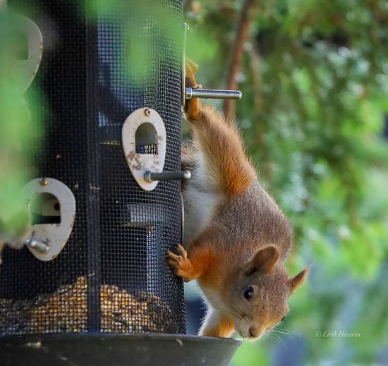 Squirrell in