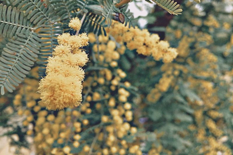 イエチカのミモザ Tree Growth Nature Branch No People Close-up Outdoors Beauty In Nature Fragility Winter Day Pine Cone Coniferous Tree Freshness Needle - Plant Part Silver Wattle Mimosa Silver Wattle