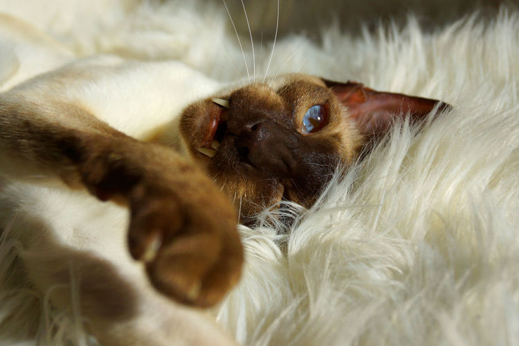 Animal Animal Themes Animals Beautiful Blue Eyes Blue Eyes <3 Cats Cats Of EyeEm Cats 🐱 Catsagram Catslife Catsofinstagram Catsoftheworld Catstagram Close-up Domestic Animals Mammal Pets Scenics Siamese Siamese Cat Still Still Life Tranquility White
