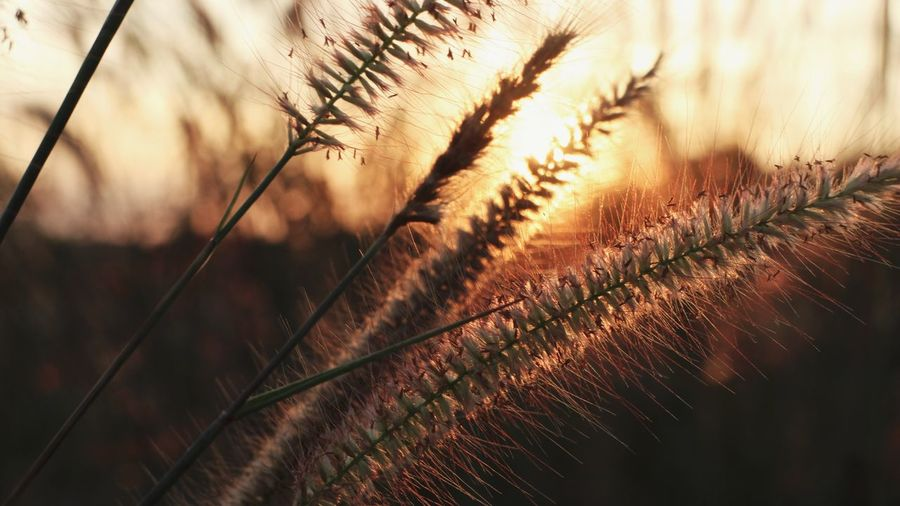 Close-Up Of Dry Plant On Field During Sunset